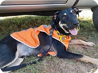 Labrador Retriever Mix Dog for adoption in Navarre, Florida - Dodger