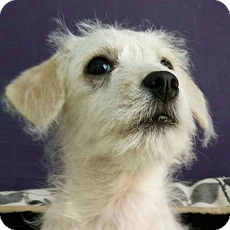 Terrier (Unknown Type, Small)/Poodle (Miniature) Mix Puppy for adoption in Thousand Oaks, California - Twizzler