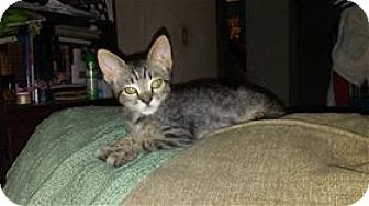 Domestic Shorthair Kitten for adoption in Rocklin, California - Schooner & Cobalt