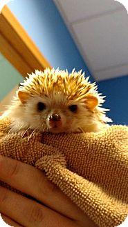 Hedgehog for adoption in Brookings, South Dakota - Pokie
