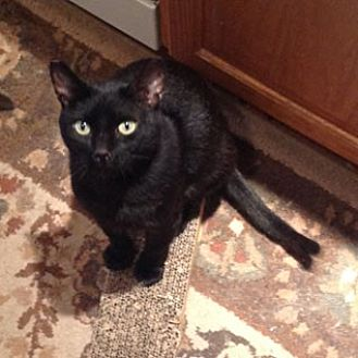 Domestic Shorthair Cat for adoption in Oakland, California - Midnight [CP]