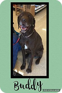 Labrador Retriever Mix Dog for adoption in Scottsdale, Arizona - Buddy