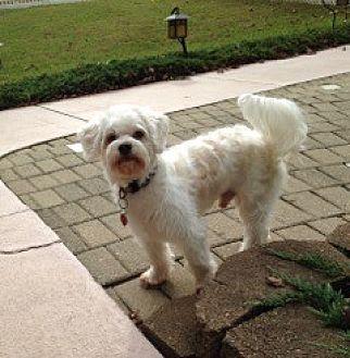 Maltese Dog for adoption in Largo, Florida - Bobo (FL)