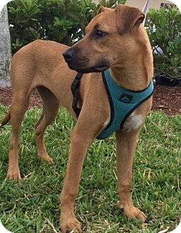 Black Mouth Cur Mix Puppy for adoption in Ft Myers Beach, Florida - Amazingly sweet!!