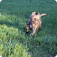 Adopt A Pet :: Bugz - Winchester, VA