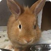 Adopt A Pet :: Scotch - Woburn, MA