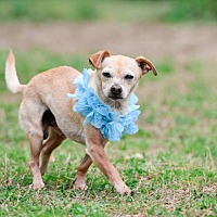 Adopt A Pet :: Chico - Virginia Beach, VA