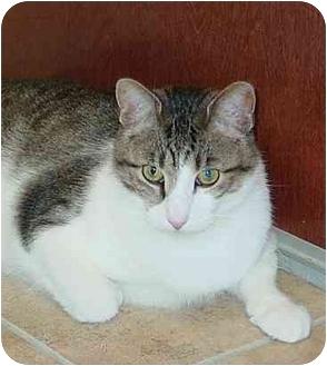 Domestic Shorthair Cat for adoption in Bartlett, Illinois - Aaron