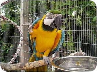 Macaw for adoption in Fountain Valley, California - Roamer aka Romeo