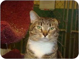 Domestic Shorthair Cat for adoption in Defiance, Ohio - Dante