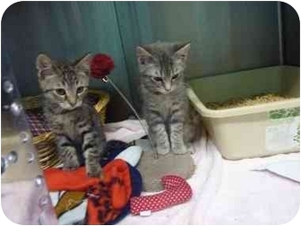 Domestic Shorthair Kitten for adoption in Grants Pass, Oregon - Josie & Friend