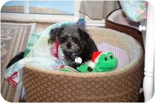 Terrier (Unknown Type, Small) Mix Dog for adoption in Rancho Mirage, California - Snickers