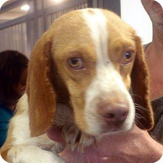 Beagle Dog for adoption in Manassas, Virginia - Houston