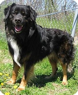 Rottweiler/Bernese Mountain Dog Mix Dog for adoption in Elgin, Illinois - BRANDT