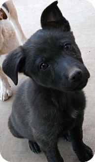 German Shepherd Dog/Labrador Retriever Mix Puppy for adoption in dewey, Arizona - Jade
