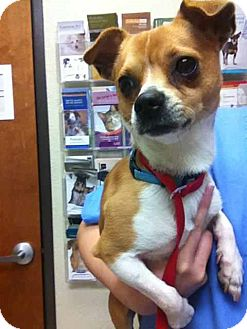 Jack Russell Terrier Mix Dog for adoption in Austin, Texas - Tucker in Dallas