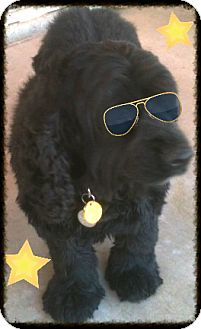 Cocker Spaniel Dog for adoption in Scottsdale, Arizona - Loki