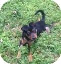 Miniature Pinscher Mix Puppy for adoption in Bedminster, New Jersey - Peanut MP