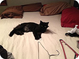 Domestic Longhair Cat for adoption in North Kansas City, Missouri - Hector