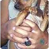 Adopt A Pet :: Ginny - dewey, AZ