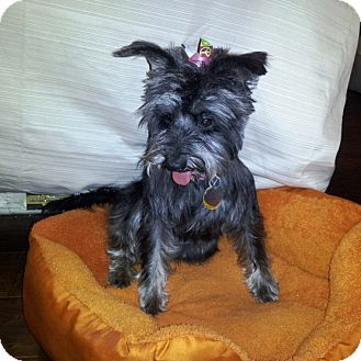 Schnauzer (Miniature)/Terrier (Unknown Type, Small) Mix Dog for adoption in North Little Rock, Arkansas - Zoe