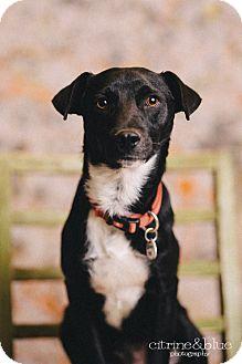 Border Collie/Labrador Retriever Mix Dog for adoption in Portland, Oregon - Dillard
