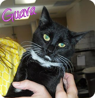 Domestic Shorthair Cat for adoption in Lewisburg, West Virginia - Guava