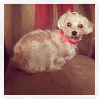 Silky Terrier/Maltese Mix Dog for adoption in Seattle, Washington - lucy