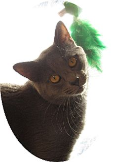 Domestic Shorthair Cat for adoption in Pueblo West, Colorado - Blue Boy