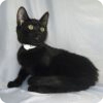 Domestic Shorthair Cat for adoption in Powell, Ohio - Caleb