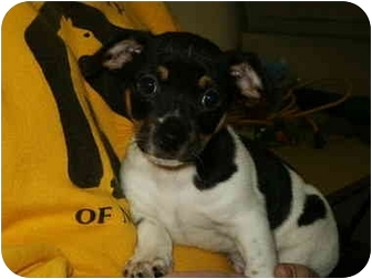 Jack Russell Terrier Mix Puppy for adoption in Mason City, Iowa - Chase