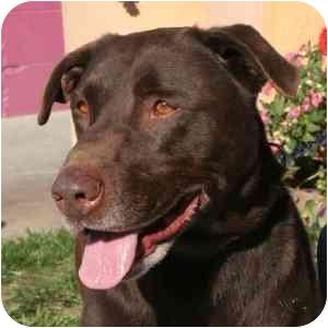 Labrador Retriever Mix Dog for adoption in Berkeley, California - Griff