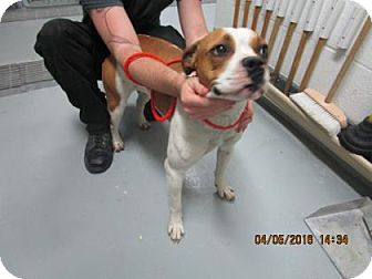 Boxer/Hound (Unknown Type) Mix Dog for adoption in Greenville, North Carolina - Giselle