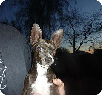 Chihuahua Dog for adoption in Phoenix, Arizona - Ava
