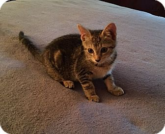 Domestic Shorthair Kitten for adoption in Richmond, Virginia - Ellie