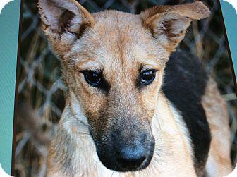 German Shepherd Dog Puppy for adoption in Los Angeles, California - PEANUT  VON PENIG