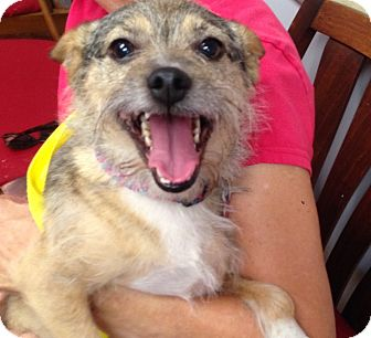 Terrier (Unknown Type, Small)/Pomeranian Mix Dog for adoption in Spring Valley, New York - Pumpkin