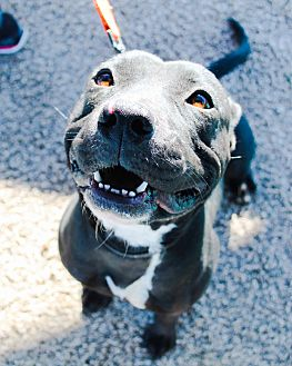 Pit Bull Terrier Mix Dog for adoption in Odessa, Texas - Mia