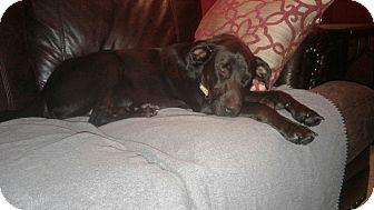 Labrador Retriever/German Shepherd Dog Mix Puppy for adoption in Allison Park, Pennsylvania - Buster