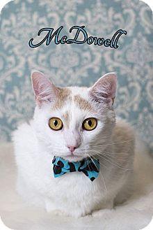 Domestic Shorthair Cat for adoption in Tega Cay, South Carolina - McDowell