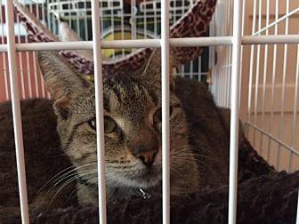 Domestic Shorthair Cat for adoption in Columbia, South Carolina - Terra