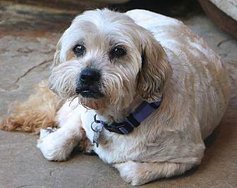 Maltese/Shih Tzu Mix Dog for adoption in Norwalk, Connecticut - Gordon