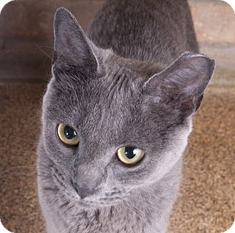 Russian Blue Cat for adoption in Chicago, Illinois - Shadow