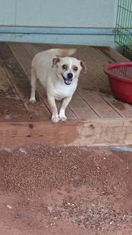 Terrier (Unknown Type, Small) Mix Dog for adoption in Oakton, Virginia - Star