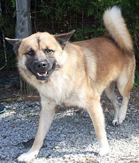 Akita Mix Dog for adoption in Hagerstown, Maryland - THOR