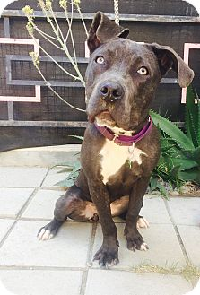 Pit Bull Terrier/Great Dane Mix Dog for adoption in Los Angeles, California - Cha Cha