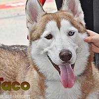 Adopt A Pet :: Taco - Carrollton, TX