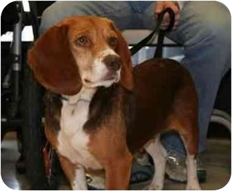 Beagle Dog for adoption in Waldorf, Maryland - Allie