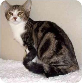 Domestic Shorthair Kitten for adoption in Mesa, Arizona - Fuji