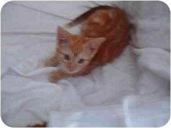 Domestic Shorthair Kitten for adoption in Temecula, California - Strawberry Shortcake